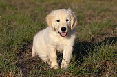 Portrait of Golden retriever puppy sitting in the grass, Provence, France