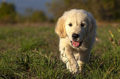 Portrait of Golden retriever puppy walking in the grass, Provence, France