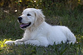 Portrait of Golden retriever puppy lying in the grass, Provence, France