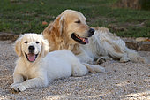 Golden retriever dog and puppy at rest, Provence, France