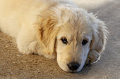 Portrait of Golden retriever puppy at rest, Provence, France