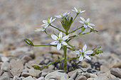 Garden Star-of-Bethlehem (Ornithogalum umbellatum) in bloom, Vaucluse, Provence, France