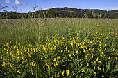 Meadow with Sickle-fruited fenugreek (Trigonella esculenta in bloom, Vaucluse, Provence, France