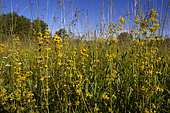 Lady's Bedstraw (Galium verum) in bloom, Vaucluse, Provence, France