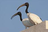 Sacred Ibis (Threskiornis aethiopicus), Dubai, United Arab Emirates