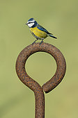 Blue tit (Cyanistes caeruleus) perched on a old piece of rusty steel, England