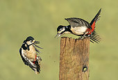Great spotted woodpecker (Dendrocopos major) fighting, England