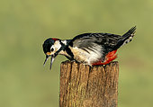 Great spotted woodpecker (Dendrocopos major) displaying on a post