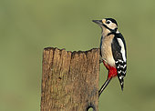 Great spotted woodpecker (Dendrocopos major) perched on a post