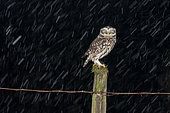 Little owl (Athena noctua) perched on a post during a snow storm, England