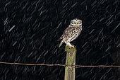 Chevêche d'Athéna (Athene noctua) sur un poteau dans une tempête de neige, Angleterre