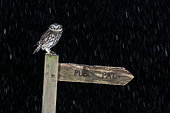 Little owl (Athena noctua) perched on a public footpath post during a snow storm