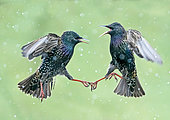 Starling (Sturnus vulagaris) fighting in falling snow, England
