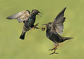 Starling (Sturnus vulagaris) squabling in the air, Engalnd