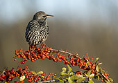 Starling (Sturnus vulagaris) perched on a pyracantha, England