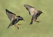 Starling (Sturnus vulagaris) in flight, England