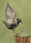 Starling (Sturnus vulagaris) landing on a post, England