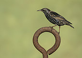Starling (Sturnus vulagaris) perched on a rusty steel ring, England