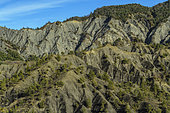 The Black Earths of the nappe of Digne, above Draix. Jurassic marls rich in organic matter, soft and very sensitive to gullying, colonized mainly by Scots pines and forming remarkable reliefs in the Geological Reserve of Digne, Alpes de Haute Provence, France.