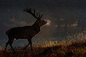 Red deer (Cervus elaphus), backlit, Denmark, Europe