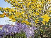 Fremontodendron 'Pacific Sunset', Wisteria sinensis