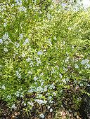Spiraea cantoniensis 'Lanceata'
