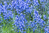 Hyacinthoides 'Hispanica Blue'
