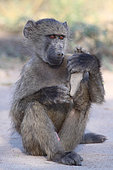 Young male chacma baboon (Papio cynocephalus ursinus) playing with foot, Kruger NP, South Africa