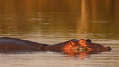 Warm lights at the end of the day illuminating the head of a Hippopotamus (Hippopotamus amphibius) in a river, Kruger NP, South Africa