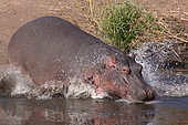 Hippopotamus (Hippopotamus amphibius) rushing into the water, Kruger NP, South Africa