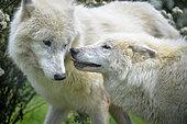Arctic wolf (Canis lupus arctos) pair in spring