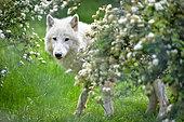 Arctic wolf (Canis lupus arctos) in spring
