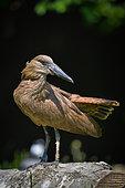 Hamerkop (Scopus umbretta), parc des Oiseaux, France
