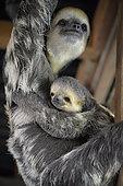 Paresseux tridactyle (Bradypus tridactylus) jeune accroché sur le ventre de sa mère, Guyane Française