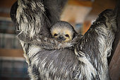 Pale-throated three-toed sloth (Bradypus tridactylus) young hanging on the belly of its mother, French Guiana