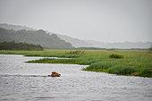 Zébus traversant les la réserve naturelle des Marais de Kaw, Guyane Française