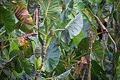Yautia Madera (Montrichardia arborescens) fruits, Kaw Marshes Nature Reserve, French Guiana