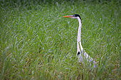 Cocoi Heron (Ardea cocoi) in grass, Kaw Marshes Nature Reserve, French Guiana