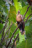 Hoazin huppé (Opisthocomus hoazin) posé sur une branche - Réserve naturelle des Marais de Kaw - Guyane Française