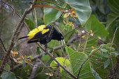 Cassique cul-jaune (Cacicus cela) posé dans un arbres, Réserve naturelle des Marais de Kaw, Guyane Française