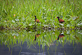 Watled Jacanas (Jacana jacana) placed on water hyacinths, Kaw Marshes Nature Reserve, French Guiana