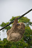 Southern two-toed Sloth (Choloepus didactylus) hanging from an electric cable, French Guiana