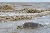 Pacific ridley sea turtle (Lepidochelys olivacea) corpse in the waves, Amana Reserve, French Guiana
