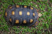 Red-footed tortoise (Chelonoidis carbonaria), French Guiana