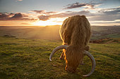 Highland Cattle (Bos taurus). A Highland Cattle grazes at sunset in the Peak District National Park, UK.
