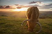 Vache Highland (Bos taurus domesticus) au coucher du soleil dans le parc national du Peak District, Royaume-Uni.