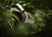 Eurasian Badger (Meles meles). A Eurasian Badger in the Peak District National Park, UK.