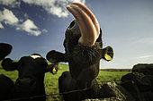 Vache tirant la langue, Parc national du Peak District, Royaume-Uni.