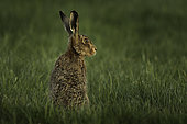 Brown Hare (Lepus europaeus). A Brown Hare peeps up in the Peak District National Park, UK.