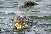 American crocodile (Crocodylus acutus) in water, open mouth, Banco Chinchorro, Quintana Roo, Mexico, Central America